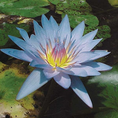 Pond Water Lilies Varieties And Care