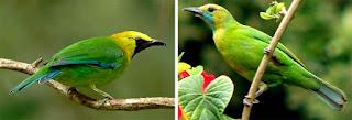 Ciri - Ciri Burung Cucak Thailan (Cucak Hijau Kepala Kuning) Jantan Dan Betina Yang masih Blom Di Ketahui