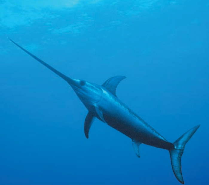 Swordfish aquatic animals for What is the fastest swimming fish