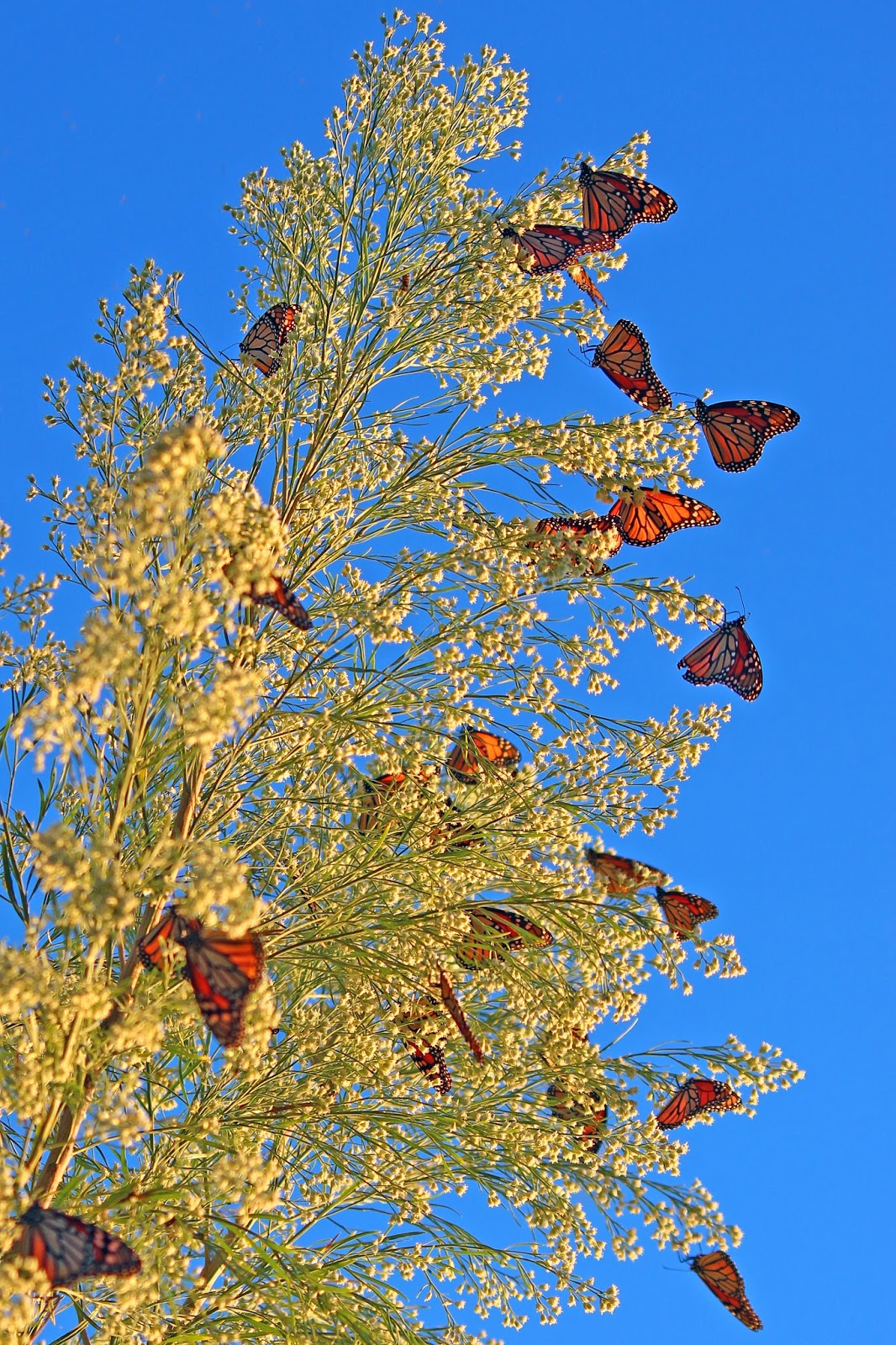 Monarch butterfly migration tree - photo#17