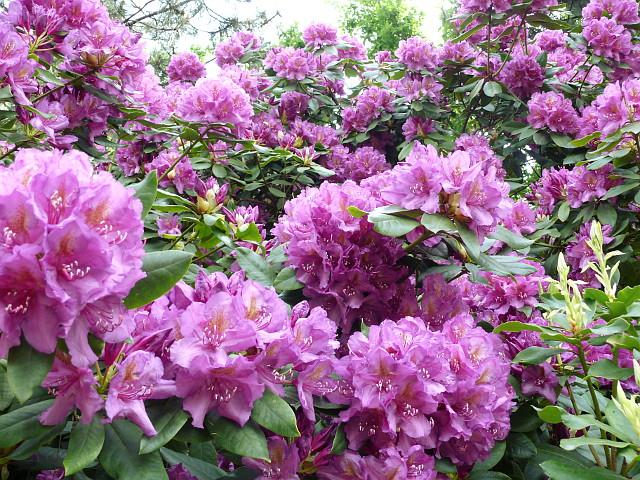 kwitnące fioletowe rododendrony ogród powsin