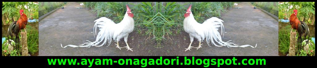 Ayam Onagadori | Ayam Hias Onagadori | Jual Ayam Hias Onagadori