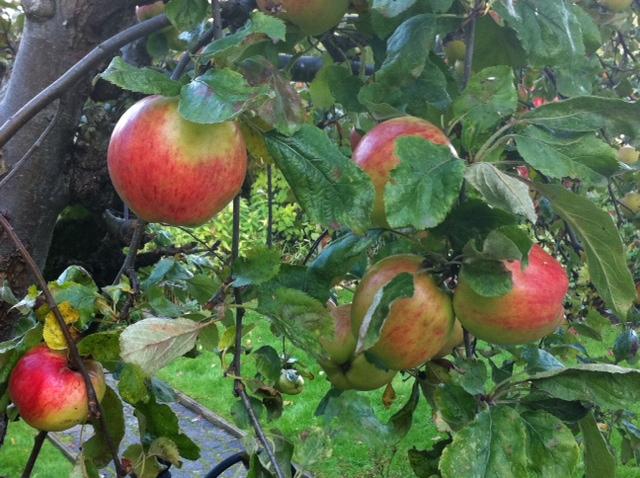 racine wine imports my backyard apple tree is pineau d aunis