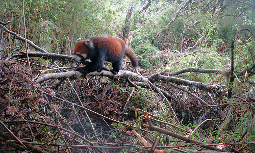 Mengenal Red Panda