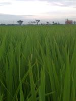 12 hal yang perlu diketahui tentang beras tahun 2012