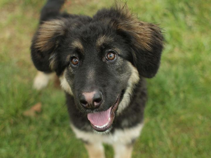 Gwen - German Shepherd mix puppy