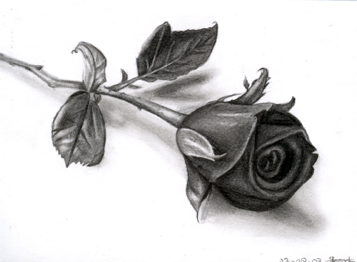 Incredible drawings and pencil illustrations nfs for Amazing drawings of roses