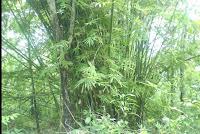 Bambu Lubai