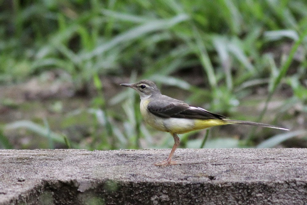 Burung Kedidi onget-onget