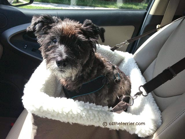 Oz the Terrier riding in Tagalong Pet Booster Seat by Solvit Products in the front seat of car