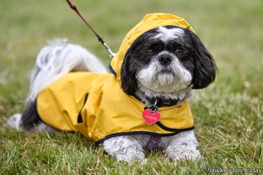 Charlie, a female shih tzu dog from Napier, going for a walk along the Ahuriri Estuary, Napier, wearing a yellow raincoat in the cold morning weather. photograph