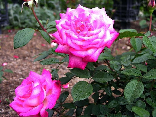 pink rose gulabi gulab beauty