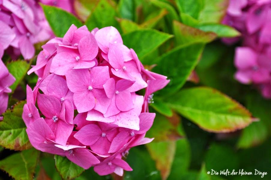 Irland: Garinish Island - Hortensien