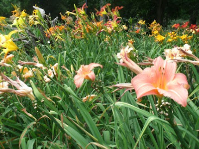 Rosetta McClain gardens daylily bed by garden muses: a Toronto gardening blog