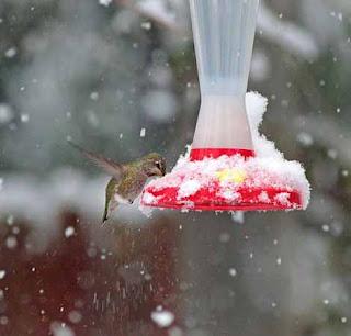 Foto Burung Kolibri Ditengah Salju
