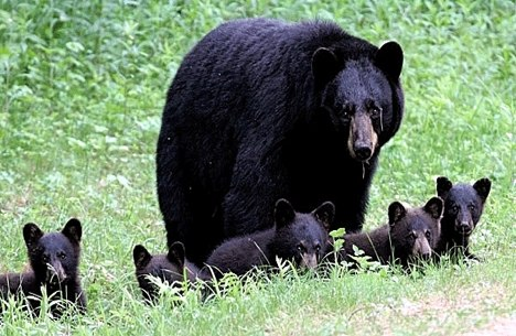 family of six black bears caught on film