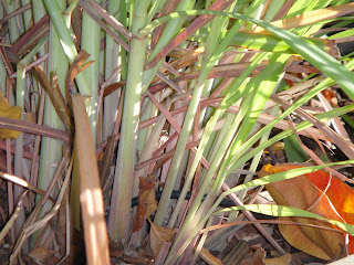 Lemon Grass Harvested