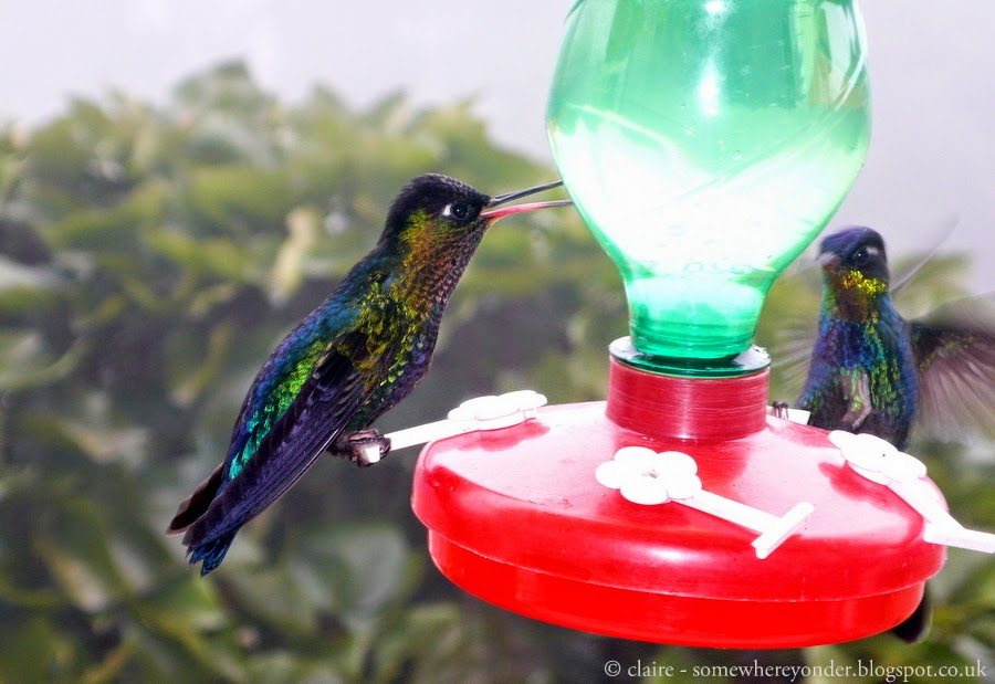Hummingbirds feeding, Mexico