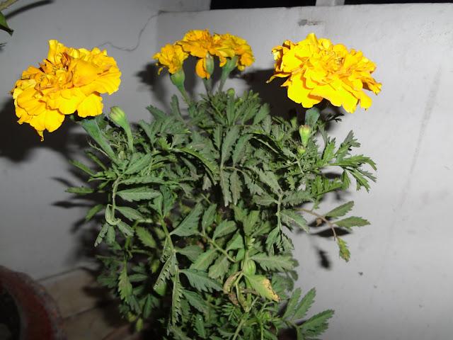genda flower
