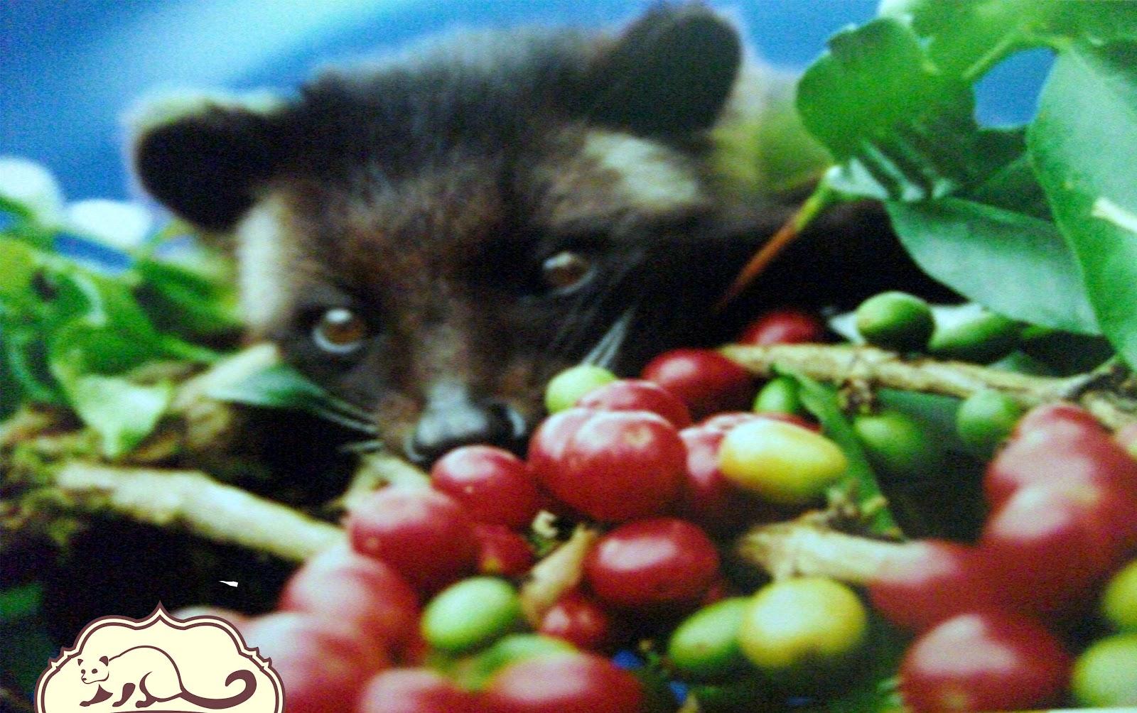 Wild Civet Coffee: About Wild Civet Coffee1600 x 1004 jpeg 307kB
