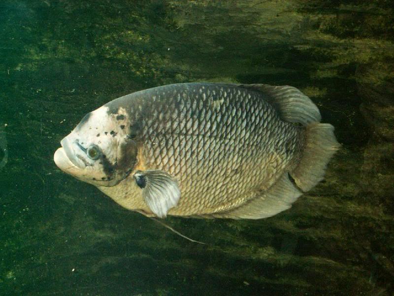 gambar ikan grameh