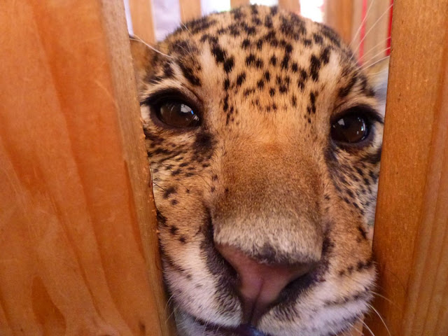 funny animal pictures, funny cheetah
