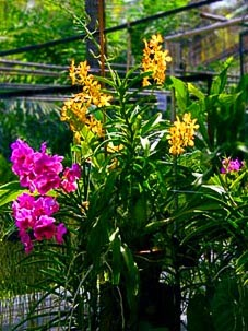 Thai Orchid  Yellow and Purple