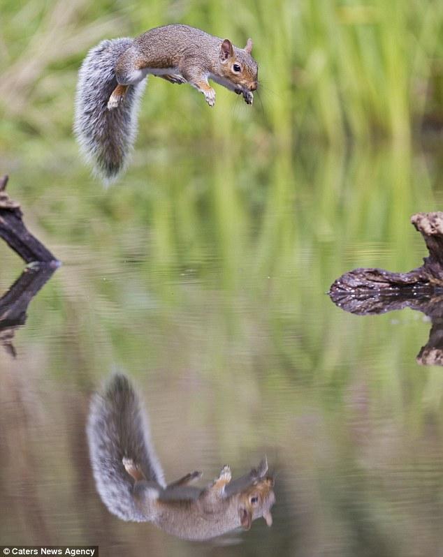 Gambar-gambar tupai melakukan aksi akrobatik oleh Brian Bevan