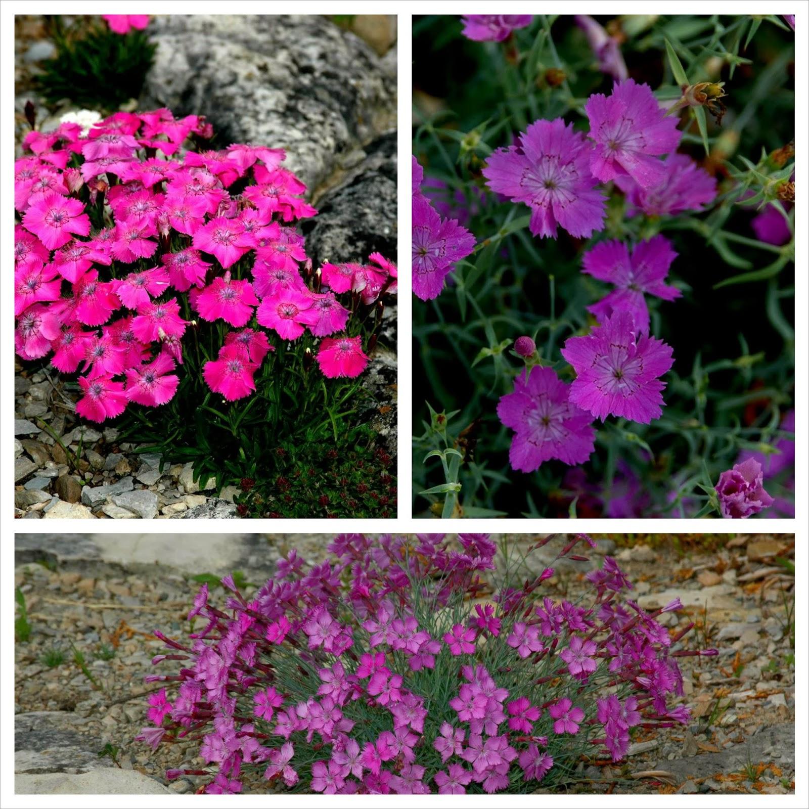 Dianthus alpinus, Dianthus amurensis & unidentified dianthus