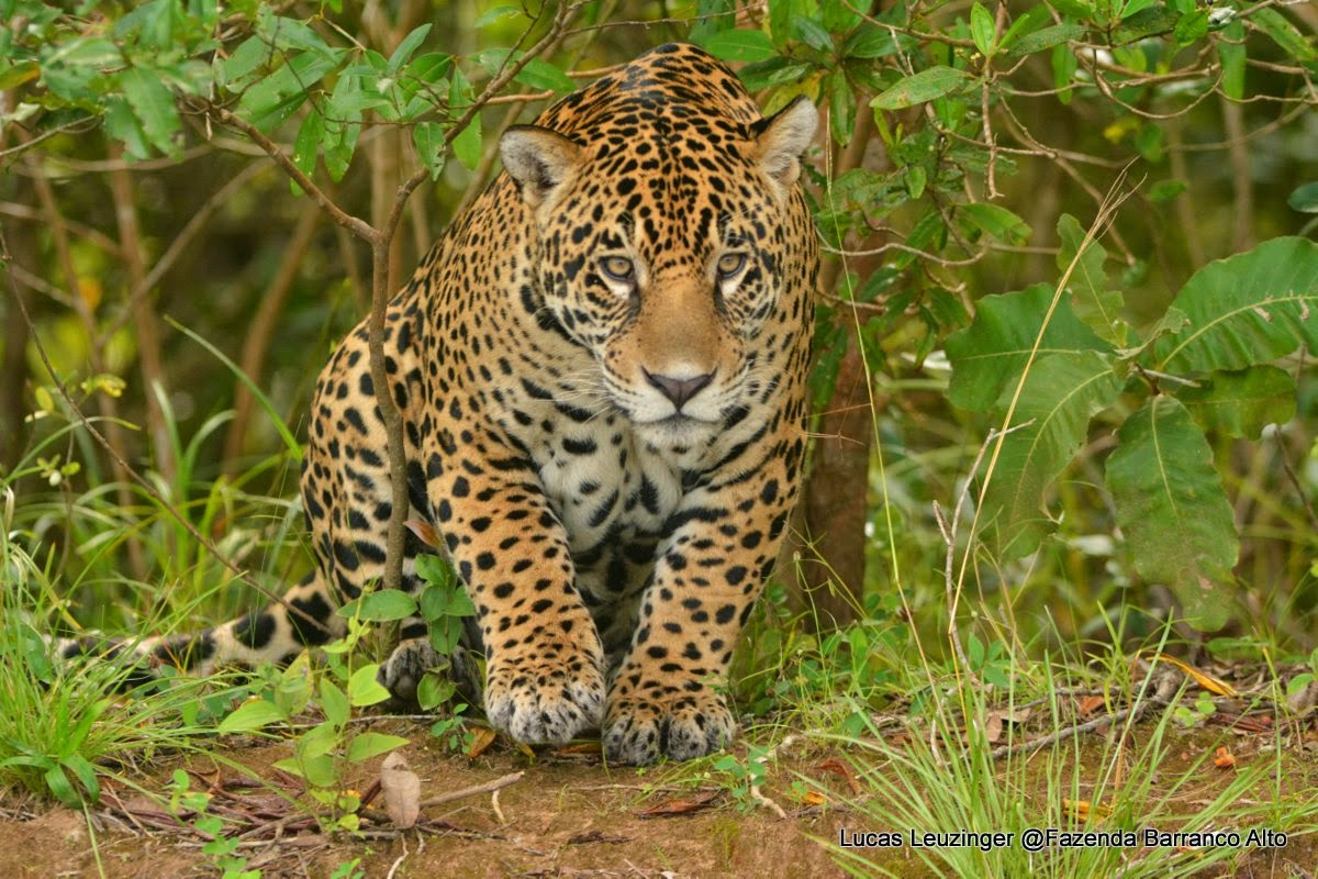 Male Jaguar Pantanal Fazenda Barranco Alto