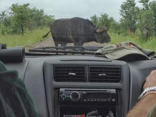 Eenmaal op weg dient zich opnieuw een levend roadblock aan. Nummer 4 van de Big Five: een buffel heeft zich pontificaal en breeduit op het asfalt opgesteld.