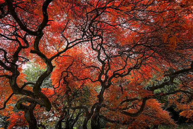 Tree in full autumn bloom at Margam Country Park by Martyn Ferry Photography