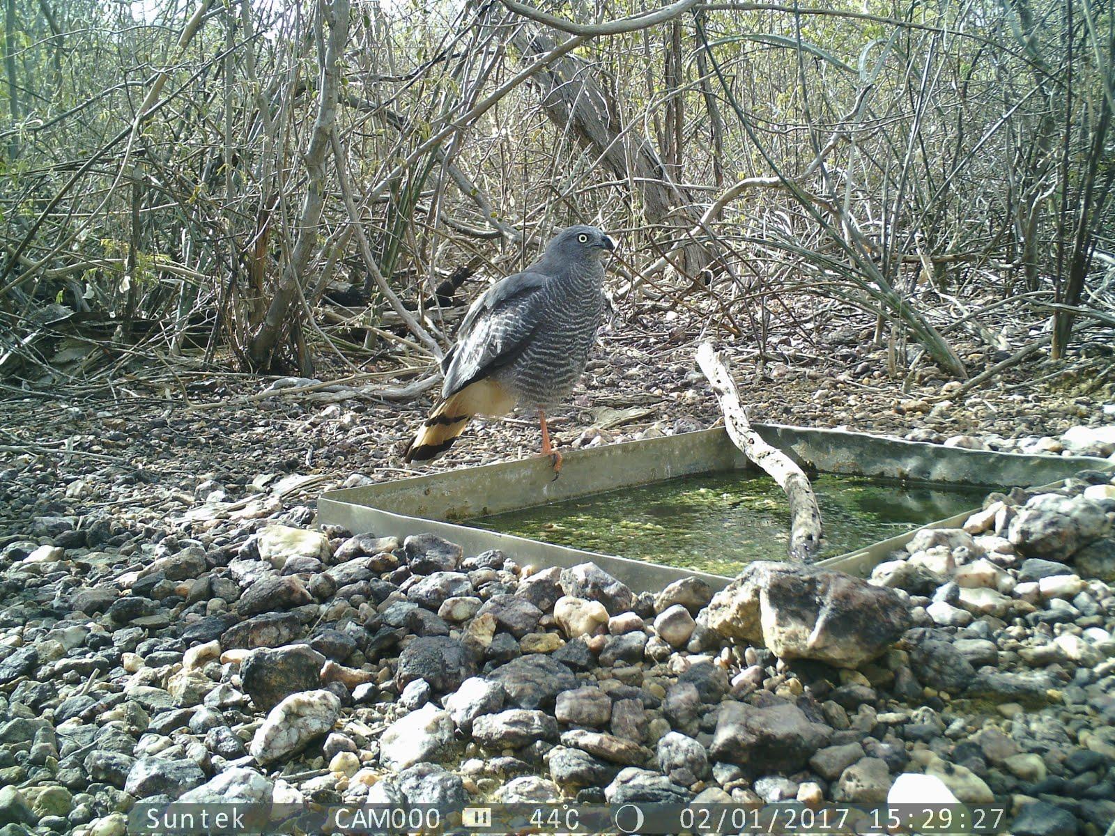 O belo gavião da caatinga