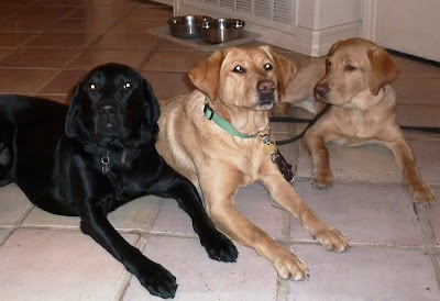 One black and two yellow Labs