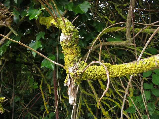 The leaf I've been following used to be in the crook of this lichen covered bough