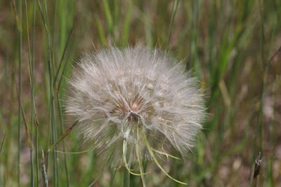 Yellow Goat's Beard (Tragopogon dubius) seed head