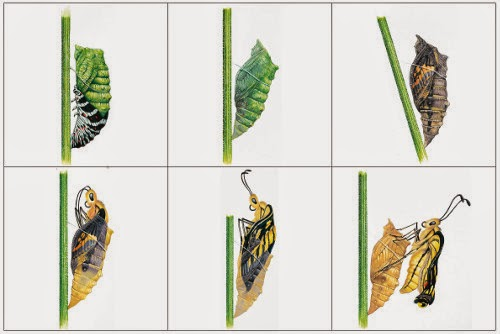 Crapouillotage cycle de vie du papillon - Papillon maternelle ...