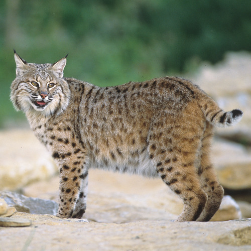 bobcat.jpg
