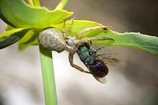 Para ampliar Xysticus sp (Koch C. L., 1835) Araña cangrejo hacer clic