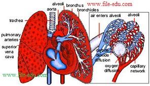 Fungsi paru-paru Pada Sistem Ekskresi Pada Manusia