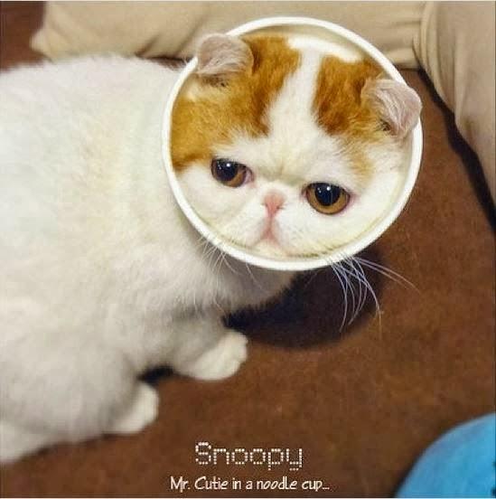 Menggemaskan Snoopybabe Kucing Paling Terkenal Di Cina
