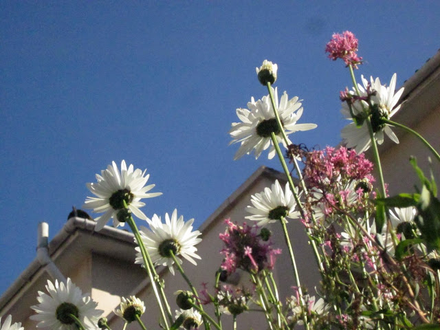 Ox-eye daisies and pink valerian from below