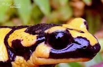 Tipos Salamandras