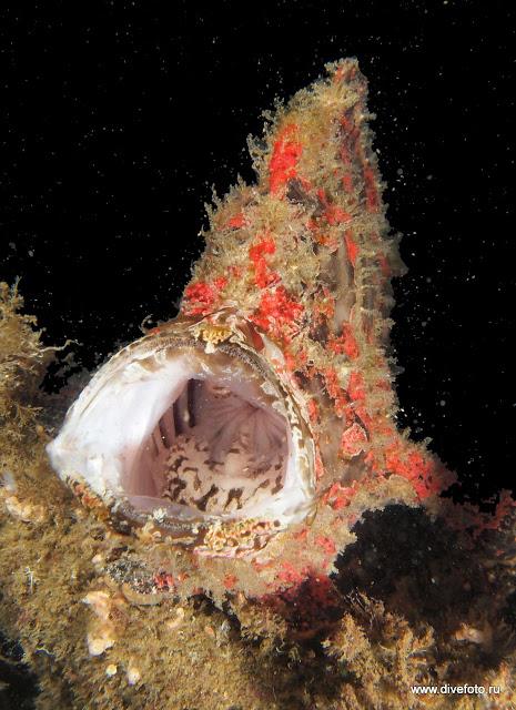 Гигантская фрог фиш с открытым ртом фото
