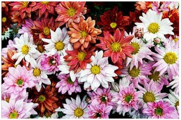 crisanthemun leucathemun
