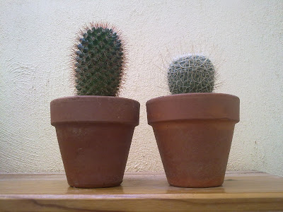 cactus in terracotta pots