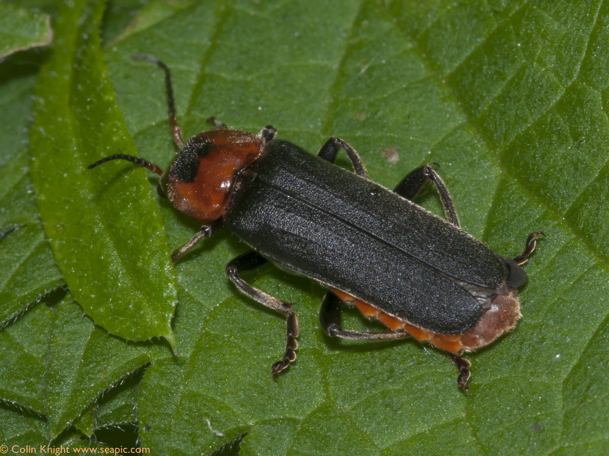 The Plague Soldier Beetle isnt nearly as bad as it sounds