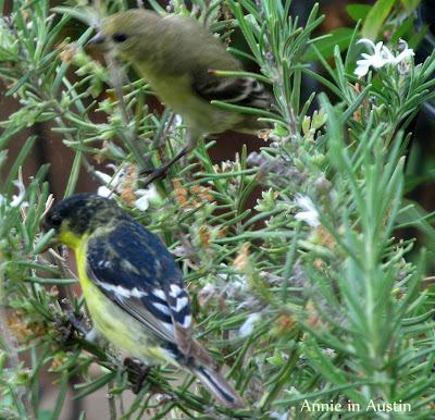 Annieinaustin, Goldfinch pair on Rosemary