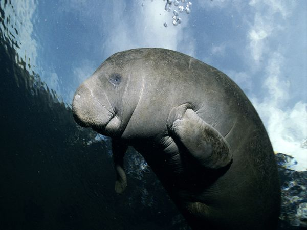 Manatee