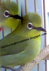 ... burung pleci saya dapat cepat bunyi, ngoceh, buka paruh ataupun kapan
